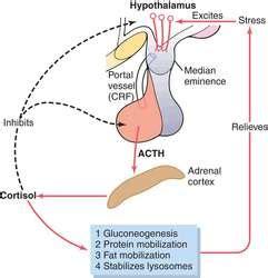 adrenocorticotropic hormone | definition of