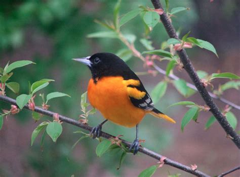 histories of american blackbirds orioles tanagers and allies classic reprint books bird identification blackbirds orioles allies