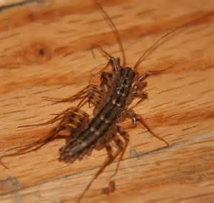 house centipedes scutigera coleoptrata bugguide net