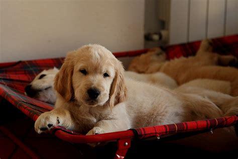 golden retriever compared to labrador do labrador retrievers shed 5 surprising facts about labrador retrievers mnn breed