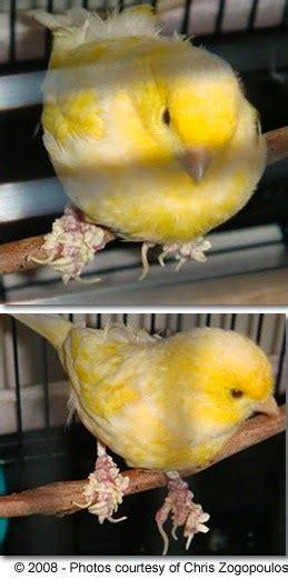 Minyak Tawon Di Apotik atasi penyakit kenari archives burung hobi