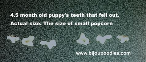 puppy teeth falling out eye colour upon maturity will be any shade of brown with the preferred being darkest