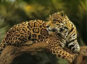 La Jaguars Le Jaguar Superpredateur D Amazonie