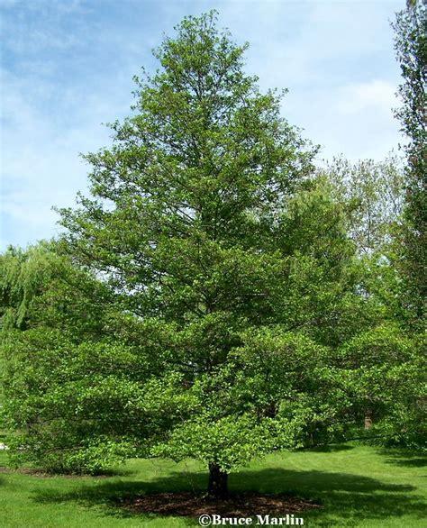 european black alder alnus glutinosa walk in nature pinterest black trees and garden trees