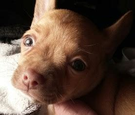 bullhuahua puppies for sale all breeds on puppyfinder page 1