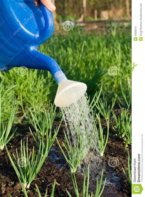 Best Time To Water Vegetable Garden Is Watered On The Vegetable Garden Cl Stock