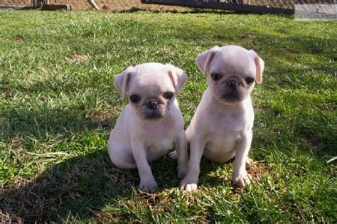 pugs for sale in massachusetts brindle pugs puppies in massachusetts for sale white pug puppies for sale