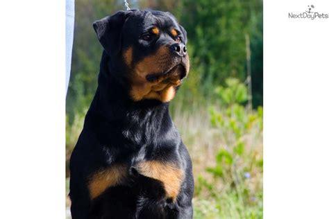rottweiler puppies syracuse ny world class rottweiler puppy for sale near syracuse new york 4c445d41 5901
