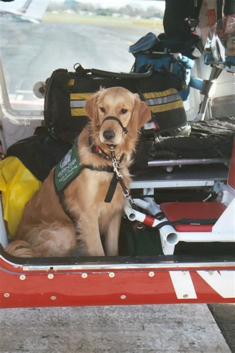 golden retriever blind guide 17 best images about guide dogs for the blind on joan rivers and puppys