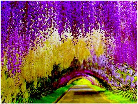 japan flower tunnel travel trip journey kawachi fuji gardens japan