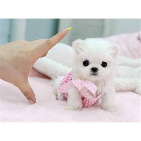 tiny puppies puppy dogs teacup maltese puppies