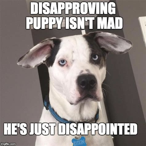 Disappointed Dog Meme - image tagged in disapproving puppy imgflip