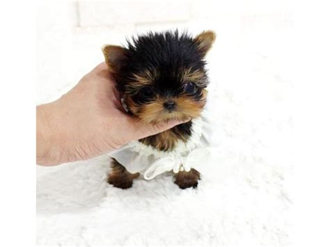 yorkie puppies for adoption in ma teacup size yorkie puppies for adoption animals worcester massachusetts
