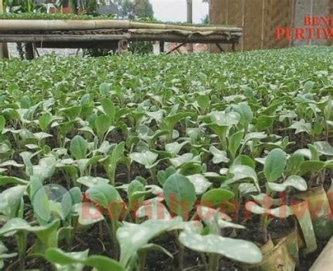 Benih Kacang Panjang Unggulan persemaian sayur benih pertiwi