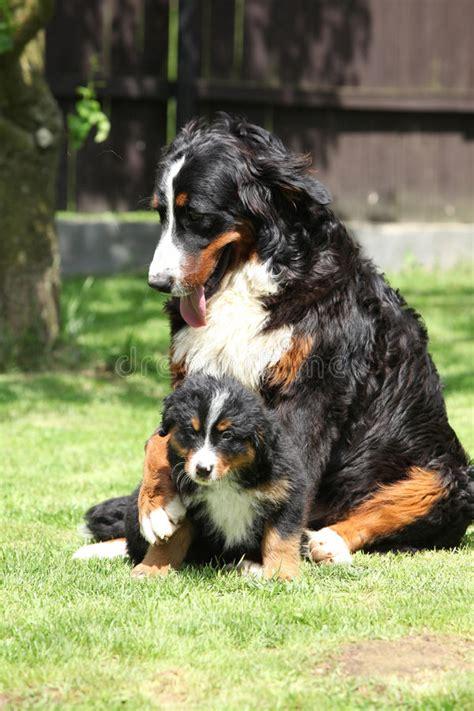 foto di giardini di cagna cagna bovaro bernese che gioca con il cucciolo