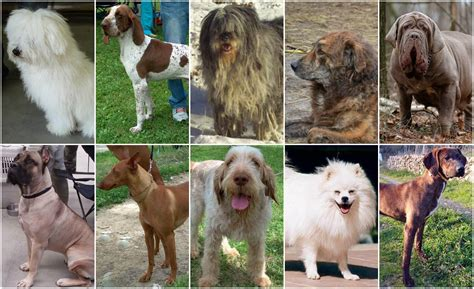 top ten dogs top ten italian breeds italy magazine
