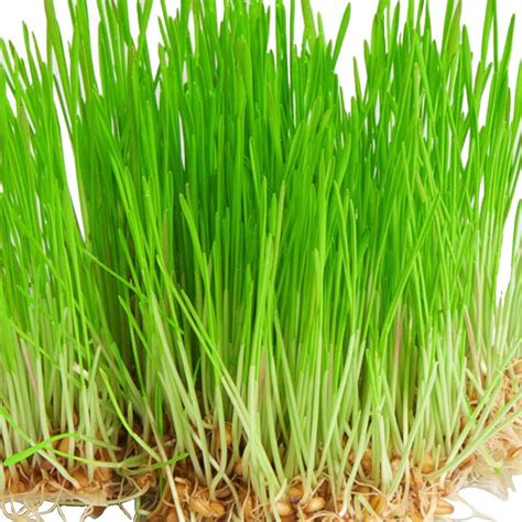 mayberry 12 lb bermuda grass seed 96030 the home depot