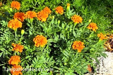 marigolds a mosquito repellent ta homebody