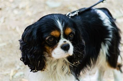 Do Cavalier King Charles Shed by Cavalier King Charles Spaniel Dogs And Puppies Breeds Journal