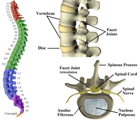 Sections Of The Vertebrae by Chiropractic Care Ltd The Spine Support System For
