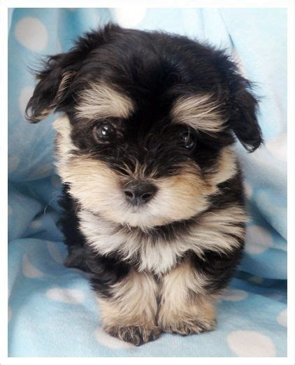havanese chihuahua mix for sale 92 best teacup puppies images on fluffy pets adorable animals and dogs