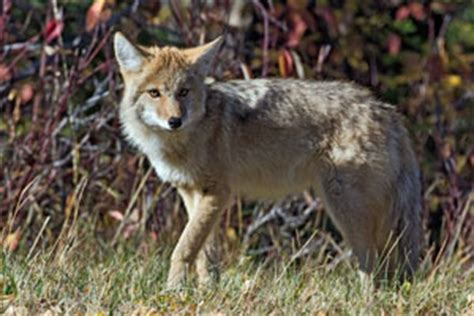 facts about coyotes for kids coyote facts for kids naturemapping
