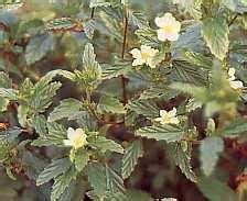 Teh Herbal Sidaguri sidaguri informasi herbal