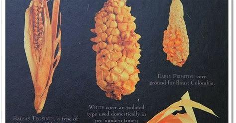 sejarah jagung  nusantara camilan keluarga
