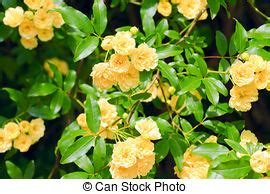 Buisson Fleur Jaune by Buisson Fleurs Jaune Photo Flowers Studio Buisson
