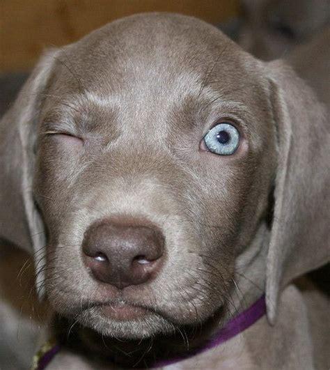 pictures of weimaraner puppies best 25 weimaraner puppies ideas on blue