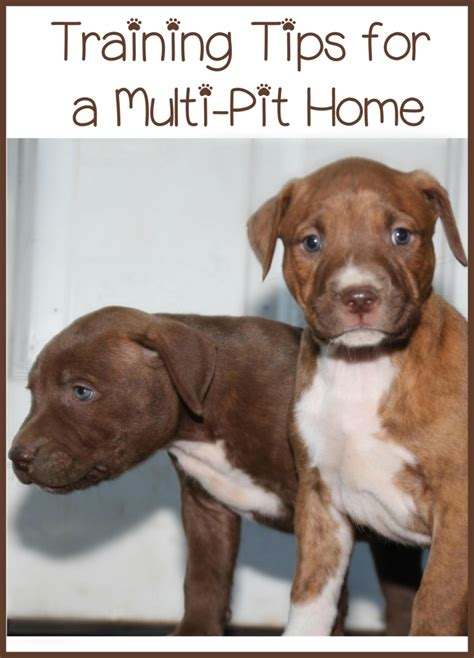 pitbull puppy tips pitbull puppy tips a pit home dogvills