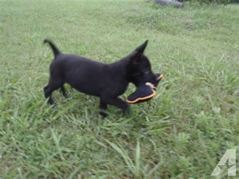 belgian malinois puppies for sale in pa belgian malinois puppies for sale in pa images