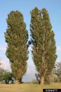 lombardy poplar populus nigra salicales salicaceae