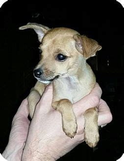 alvin yorkies yorkie terrier chihuahua mix puppy for adoption in somers connecticut alvin