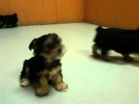 puppies for sale in visalia ca terrier puppies for sale in los angeles california ca visalia