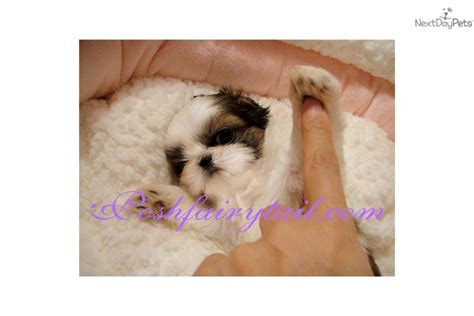 shih tzu for sale virginia shih tzu puppies for sale in virginia breeds picture
