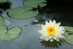 Where Are Lotus Flowers Found Monsoon Flowers In India