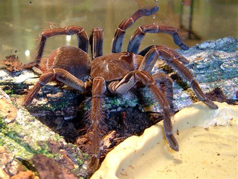 what is the largest in the world the spider in the world