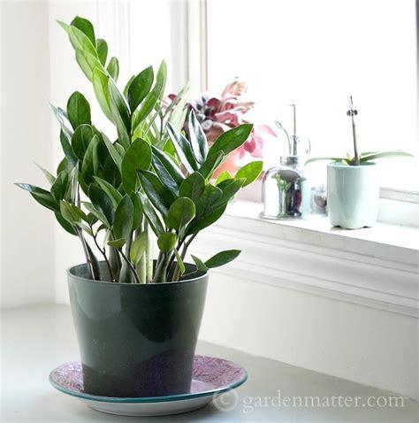 indoor vine plants indoor plant ideas the zz plant hearth vine