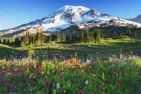 mount rainier  wildflowers   meadow mount rainier