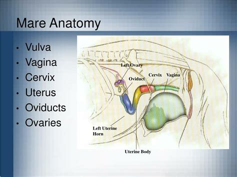 Ppt Equine Reproduction Powerpoint Presentation Id 206668