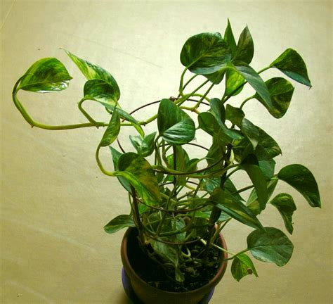 epipremnum aureum money plant money and plants on pinterest