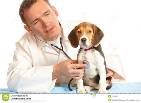 imagenes de medicas veterinarias doctor veterinario y un perrito del beagle imagen de