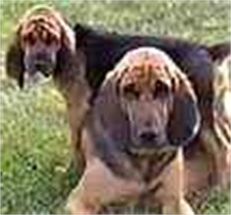 bloodhound puppies for sale in ky bloodhound puppies for sale bloodhound breeders
