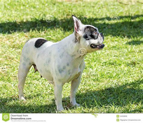 boston bull terrier puppies boston terrier royalty free stock photos image 34293808