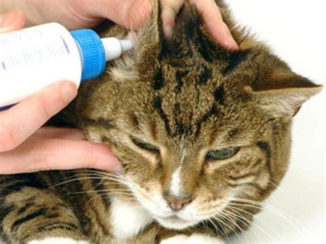 prurito interno orecchie orecchie gatto cura e igiene