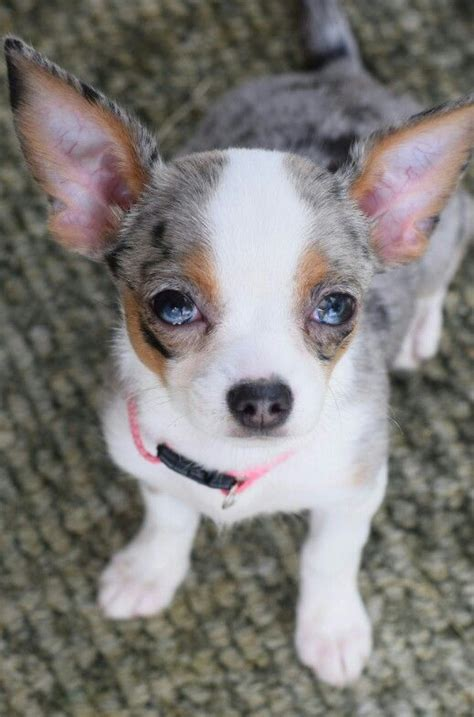 merle chihuahua puppies 25 best ideas about blue merle on baby dogs mini aussie shepherd