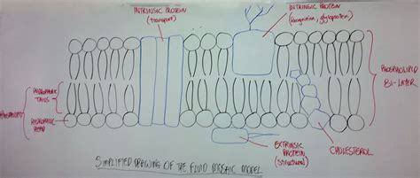 diagram of the fluid mosaic model diagram of nutrition science of nutrition elsavadorla