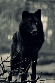 black wolf hybrid puppies wolf hybrid dogs black wolves and big black on