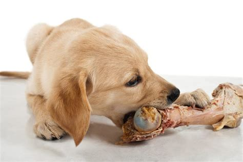 can dogs eat pork bones dogs with bones 52